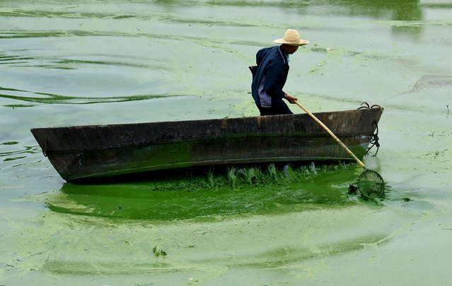 A worker tries to clear blue-green algae from Chaohu Lake, Hefei, Anhui province, China, July 4, 2015. Picture taken July 4, 2015. (Photo by Reuters/Stringer)
