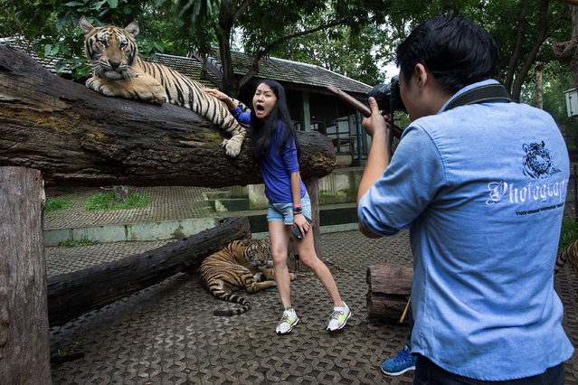 A Chinese tourist screams in fear as a tiger's swishing tail brushes against her back at Tiger Kingdom on July 29, 2015 in Mae Rim, Thailand. Face painting and celebrations marked International Tiger Day at Tiger Kingdom where tourists can pay to pet tigers and pose for photos. (Photo by Taylor Weidman/Getty Images)