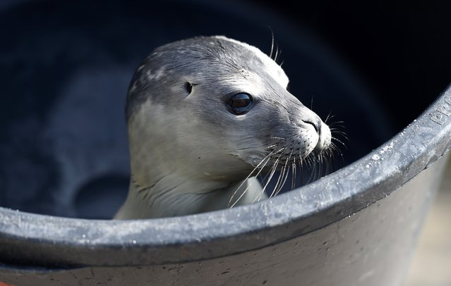 A  baby seal   found on  May 28  on the German North Sea  island  of Sylt is carried into the quarantine station at the Seal Station in Friedrichskoog, northern Germany,  Friday June 6, 2014. The Friedrichskoog Seal Breeding Station is a veterinary station authorized by the Schleswig Holstein state government to treat abandoned or sick seals and seal pups. Bringing up pups who lost their mother is the station's most important job during summer. (Photo by Carsten Rehder/AP Photo/DPA)