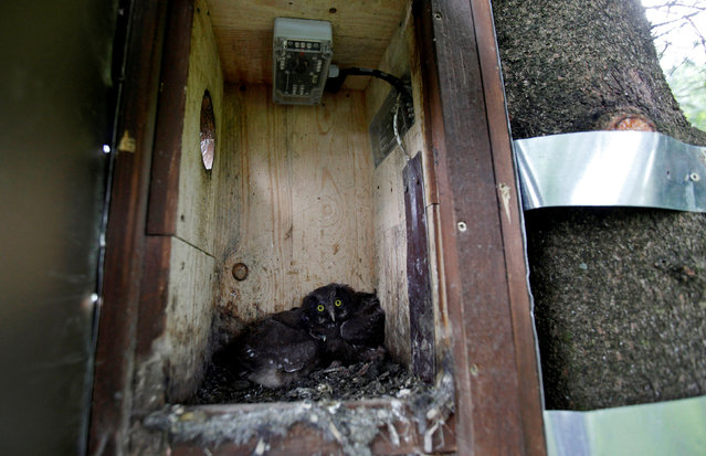 "Boreal owl chicks sit inside the ""Smart Nest Box"", which allows the study of birds by using mounted cameras, in a forest near the village of Mikulov, Czech Republic, June 18, 2016. (Photo by David W. Cerny/Reuters)"