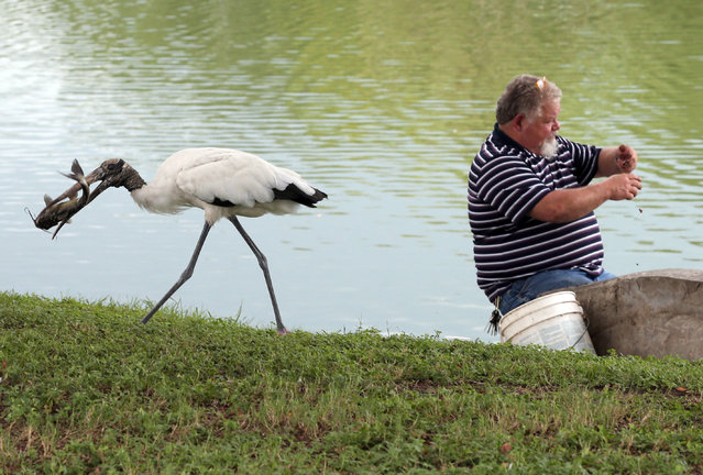 A wood stork runs away with a catfish, given by Bob Frye, as Frye, who was fishing in Tuscawilla Lake, puts bait on his hook at Tuscawilla Park in Ocala, Fla., Thursday, August 13, 2015. Frye said that he comes to fish at the lake at least four times a week and always tries to share his catch with a number of birds. (Photo by Bruce Ackerman/Star-Banner via AP Photo)