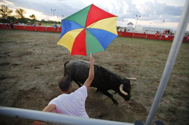 """A fighting bull chases matador Marco Espinola during an Azorean """"tourada a corda"""" (bullfight by rope) in Brampton, Ontario August 15, 2015. (Photo by Chris Helgren/Reuters)"""