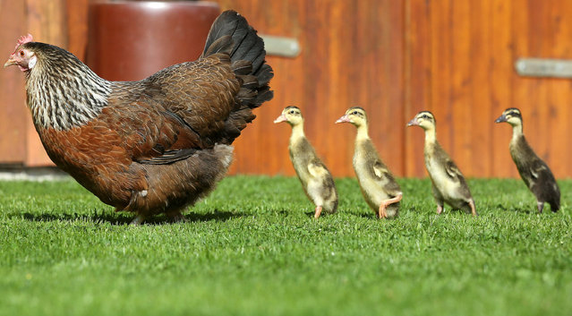 Emma the hen standing with four runner duck chicks in a field in Altheim- Waldhausen, Germany, 16 August 2017. Emma brooded the eggs and is now raising the ducklings. (Photo by Thomas Warnack/DPA/Bildfunk)