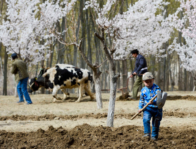 A child helps parents to plough fields in Aykarak Village in Datong, China on April 6, 2016. (Photo by Xinhua/Barcroft Media)
