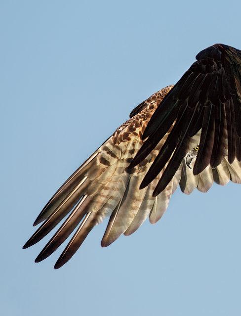 Professional winner | Osprey at Siesta Key in Sarasota, Fla. (Photo by Dick Dickinson/Audubon Photography Awards)