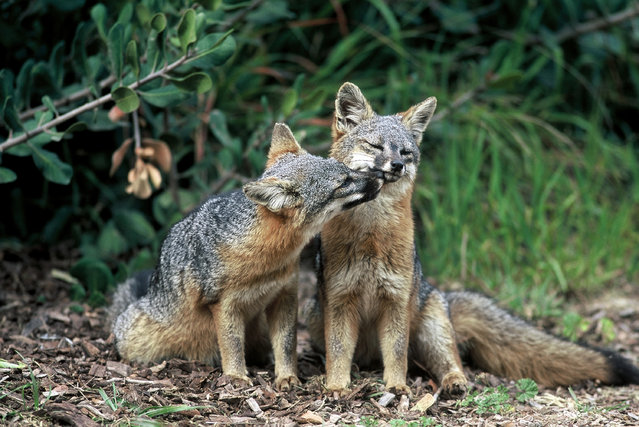 This undated photo provided by the U.S. Fish and Wildlife Service shows two island foxes in Channel Islands National Park, Calif. Three fox subspecies native to California's Channel Islands were removed from the list of endangered species Thursday, August 11, 2016, in what federal officials have called the fastest recovery of any mammal listed under the Endangered Species Act. (Photo by Chuck Graham/U.S. Fish and Wildlife Service via AP Photo)