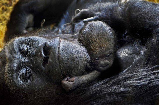 A newborn western lowland gorilla, born October 11, 2012, cuddles with its mother Bana, 17,  at the Lincoln Park Zoo in Chicago October 17, 2012. Zookeepers do not know the gender or chosen a name for the baby gorilla. (Photo by Tony Gnau/Lincoln Park Zoo)