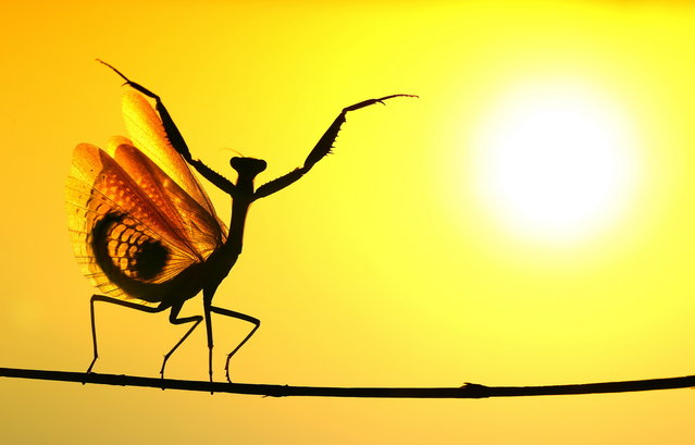 """Sunward"". When the Mediterrenean Mantis opened its wings, It seemed very impressive at the sunshine... Photo location: Nicosia, Cyprus. (Photo and caption by Hasan Baglar/National Geographic Photo Contest)"