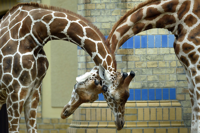 Two giraffes stand together in their enclosure at the zoo in Berlin on August 18, 2016. (Photo by Maurizio Gambarini/AFP Photo/DPA)