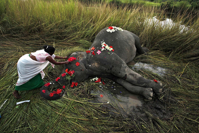 A villager offers flowers to a female adult elephant lying dead on a paddy field in Panbari village, about 50 kilometers (30 miles) east of Gauhati, India, September 1, 2012. The elephant was hit by a train and killed while crossing railway tracks with a herd of wild Asiatic elephants. (Photo by Anupam Nath/AP Photo)