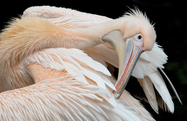 A pelican is pictured on October 29, 2014 at the zoo in Frankfurt am Main, western Germany. (Photo by Boris Roessler/AFP Photo/DPA)