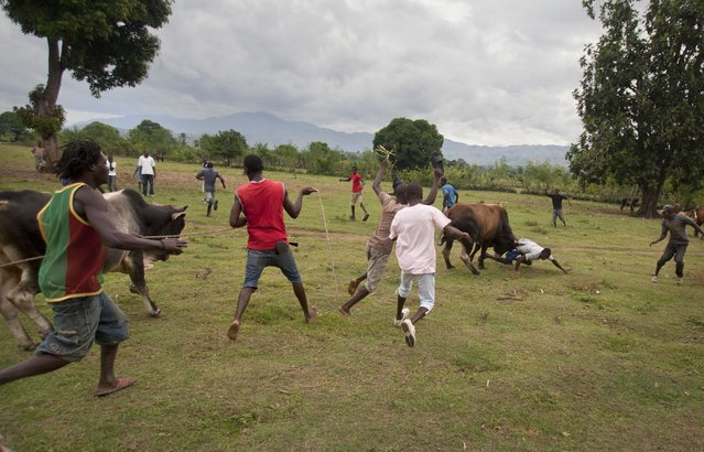 In this November 9, 2014 photo, a bull goes after a man with his horns, which were previously sharpened with a knife, as the bull runs away from a fight with another bull in Leogane, Haiti. It's unclear when fighting bulls first took root here. One aficionado said the practice has been going on in a few rural hamlets for at least a century. (Photo by Dieu Nalio Chery/AP Photo)