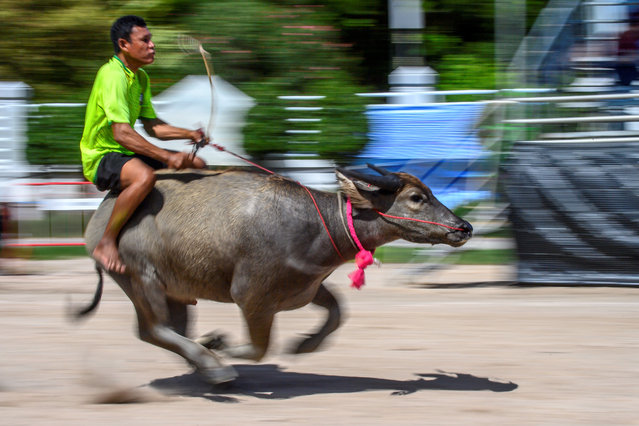 A jockey rides a water buffalo during the annual Chonburi Buffalo Race in Chonburi on October 1, 2020. (Photo by Mladen Antonov/AFP Photo)