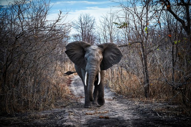 A young elephant swings his trunk and tail as he wanders alone down a forest trail in Malawi. (Photo by Jonathan Gregson/Lonely Planet)