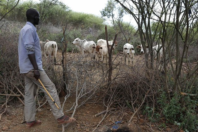 A man inspects the last settled dowry of several cows received for his daughter's hand in an arranged marriage, about 80 km (50 miles) from the town of Marigat in Baringo County December 7, 2014. (Photo by Siegfried Modola/Reuters)