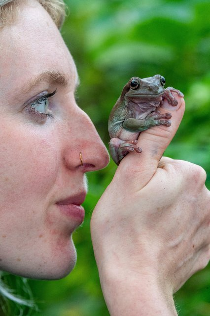 White tree frogs are native to Australia, but this one seems content to be among creatures being cared for at the Tropical Butterfly House in Sheffield, United Kingdom on November 13, 2020. (Photo by James Hardisty/South West News Service)
