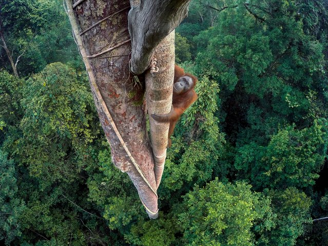 """Entwined Lives"". Tim Laman, US Winner, Wildlife photographer of the year. A young male orangutan makes the 30-metre climb up the thickest root of the strangler fig high above the canopy in Gunung Palung national park, one of the few protected orangutan strongholds in Indonesian Borneo. Laman had to do three days of climbing to position several GoPro cameras that he could trigger remotely. This shot was the one he had long visualised, looking down on the orangutan within its forest home. (Photo by Tim Laman/2016 Wildlife Photographer of the Year)"