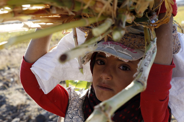 A girl carries sorghum stalks during the sorghum harvest season in Amran province, Yemen, October 24, 2020. (Photo by Xinhua News Agency/Rex Features/Shutterstock)