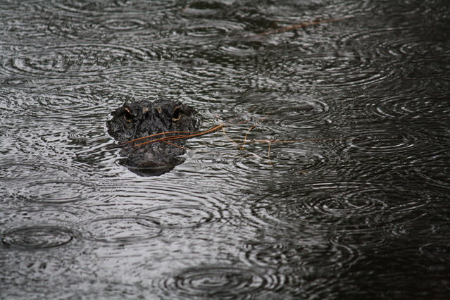 """In the Rain"". This photograph was taken while I was on vacation in South Carolina. It was a rainy miserable day until I happened uppon this alligator hanging out in a local pond. Location: Hilton Head, South Carolina, USA. (Photo and caption by Kandace Stroupe/National Geographic Traveler Photo Contest)"