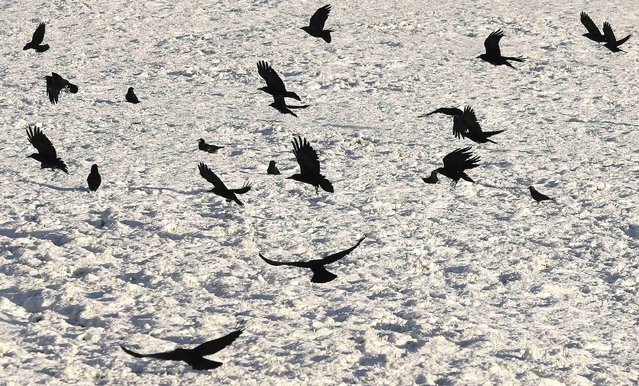 Crows fly across a field near the village of Dromore as heavy snow caused disruption across Northern Ireland January 16, 2015. (Photo by Cathal McNaughton/Reuters)