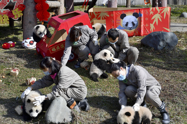 Researchers hold some of the ten baby pandas born during the year 2020 at the China Conservation and Research Center for the Giant Panda at the Wolong Nature Reserve in southwestern China's Sichuan province, Wednesday, February 3, 2021. Ten baby pandas made their debut in China's leading panda reserve in the country's southwest on Wednesday morning ahead of the Lunar New Year. (Photo by Chinatopix via AP Photo)