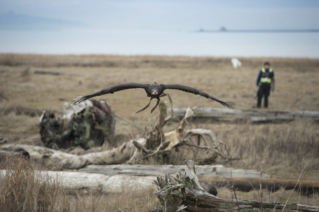 Hercules, a male bald eagle, works the grounds surrounding Vancouver International Airport in Richmond, British Columbia, Canada, on Wednesday, January 21, 2015. The raptor program uses predatory birds to scare off other birds from nesting and flying around the airport helping to keep both incoming and outgoing planes safe from collisions. (Photo by Jonathan Hayward/AP Photo/The Canadian Press)