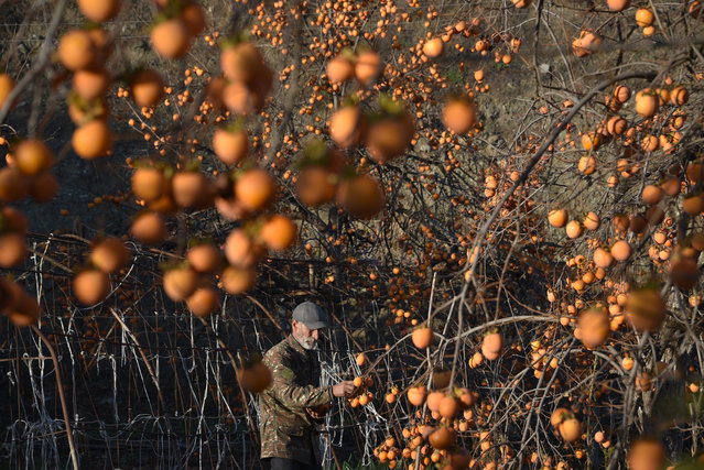 A man harvests persimmons in his garden in Stepanakert, capital of the Nagorno-Karabakh region, on November 24, 2020, after Armenia and Azerbaijan agreed to a Russian-brokered ceasefire on November 9 following six weeks of fighting over the self-proclaimed republic. Azerbaijan said on November 20, 2020, its troops entered a district bordering Nagorno-Karabakh handed back by Armenian separatists as part of a Russian-brokered peace deal to end weeks of fighting in the region. Armenia will also hand over the Kalbajar district wedged between Nagorno-Karabakh and Armenia on November 25 and the Lachin district by December 1. (Photo by Karen Minasyan/AFP Photo)
