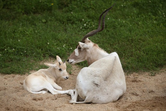 An addax calf, born June 7, rests alongside an adult female addax at Brookfield Zoo on July 2, 2013 in Brookfield, Illinois. (Photo by Scott Olson/Getty Images)