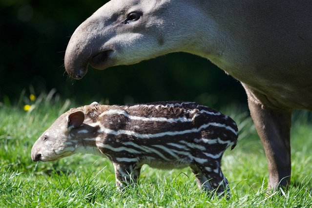 Dublin Zoo is celebrating the birth of a Brazilian tapir. The male calf, born on July 1st to mum Rio and dad Marmaduke, is the breeding pair's second calf and has an older brother, MJ, who was born at Dublin Zoo in June 2012. The story of Dublin Zoo's tapirs is heartwarming; two years ago Rio arrived at Dublin Zoo to join Marmaduke the male tapir who had recently lost his long term female partner Hillary, who died.  Just over one year on Dublin Zoo was celebrating the birth of the pair's first born calf and 12 months later they welcome their second calf. (Photo by Patrick Bolger/Dublin Zoo)