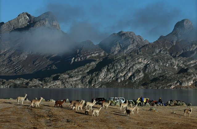 August 19, 2012 – Alpamarca, Peru – A herd of alpacas stroll by the Amazon Express expedition base camp at Laguna Acucocha. Amazon Express expedition began its source to sea journey here, at Laguna Acucocha near Alpamarca, Peru 13,120 ft / 3,999 m elevation. Snowmelt from the Andes mountains above these two lakes is possibly the wet season source of the Amazon River. (Photo by Erich Schlegel/zReportage via ZUMA Press)
