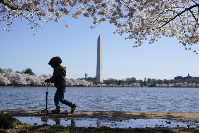 A child rides a scooter under blooming Yoshino cherry trees on the edge of the Tidal Basin, Tuesday, March 30, 2021, in Washington. (Photo by Patrick Semansky/AP Photo)