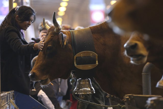 A woman touches a Tarentaise cow during the 52nd International Agricultural Show in Paris, February 21, 2015. The show runs from February 21 to March 1, 2015. (Photo by Pascal Rossignol/Reuters)