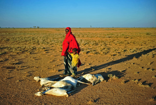 A woman and a boy walk past a flock of dead goats in a dry land close to Dhahar in Puntland, northeastern Somalia, on December 15, 2016. Drought in the region has severely affected livestock for local herdsmen. (Photo by Mohamed Abdiwahab/AFP Photo)