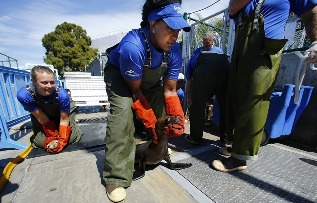 Animal Care Specialist Erika Jones (C) walks a sea lion to her cage after the rescued malnourished pup was tube fed at Sea World in San Diego, California March 17, 2015. (Photo by Mike Blake/Reuters)