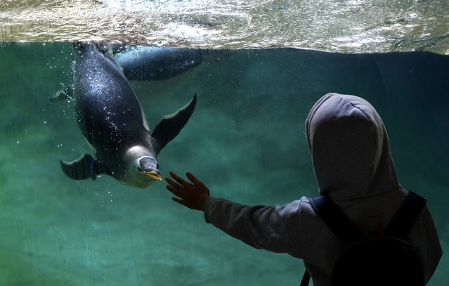 A young child reaches out to a Gentoo penguin as it swims in its enclosure at Pairi Daiza Park in Cambron-Casteau, Belgium, Monday, July 5, 2021. Pairi Daiza, one of the biggest zoos in Europe, has recently added ten Gentoo penguins to their animal population. (Photo by Virginia Mayo/AP Photo)