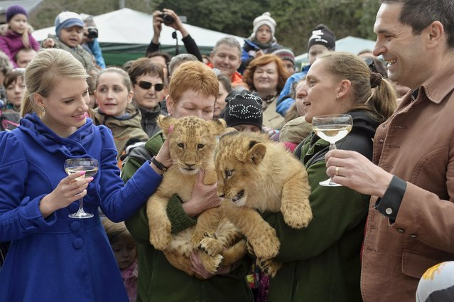 Two fourteen-week old lion cubs, a male named Ramzes and a female named Zara, are seen with godparents TV host Dana Strculova (L) and Jan Meciar (R) during a Christening ceremony at the Bojnice Zoo April 4, 2015. The two cubs are Barbary lions (Panthera leo leo), local media reported. (Photo by Radovan Stoklasa/Reuters)