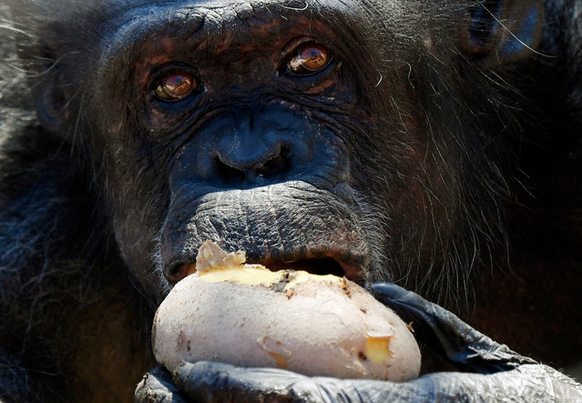 A gorilla eats a hot potato on January 9, 2017 at the Bioparco (zoo) in Rome. Hot potatoes were distributed to animals today at the Bioparco in Rome as a cold wave hits Italy since a week with unusual snowfalls in the southern region of Puglia. (Photo by Tiziana Fabi//AFP Photo)