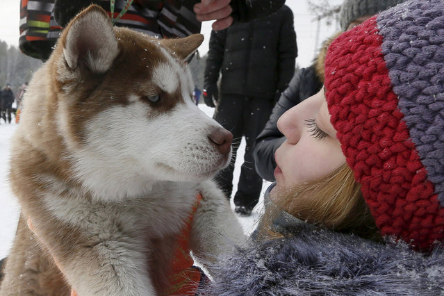 """A girl holds a Siberian Husky puppy after the """"Kara-Dag 2016"""" open amateur dog sled and skijoring race near the village of Yelovoye in Taiga district, outside Krasnoyarsk, Siberia, Russia, February 21, 2016. Dogs and their owners from various regions of Siberia took part in the annual race. (Photo by Ilya Naymushin/Reuters)"""
