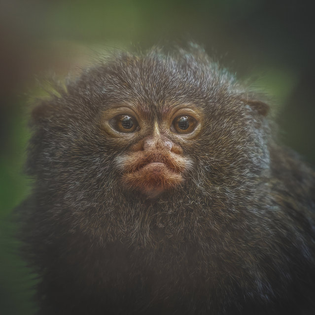 Pygmy marmoset, Airo. (Photo by Manuela Kulpa/Caters News)