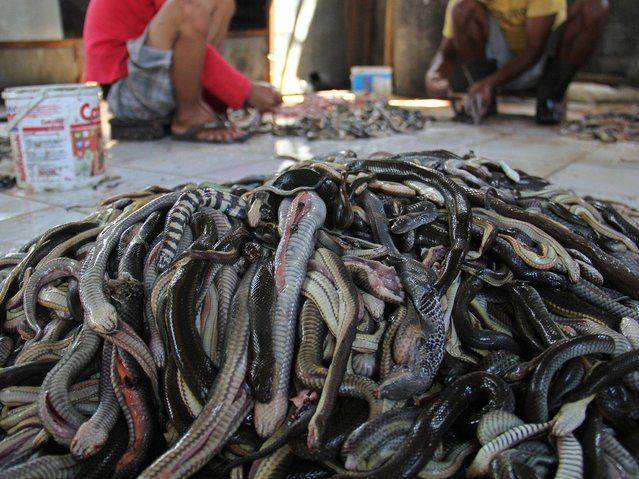 Workers prepare snake skins in the village of Kertasura, Cirebon. At slaughter house snake skins measuring in the hundreds of metres, are sold to bag factories in the West and Central Java provinces on a monthly basis. (Photo by Nurcholis Anhari Lubis/Getty Images)