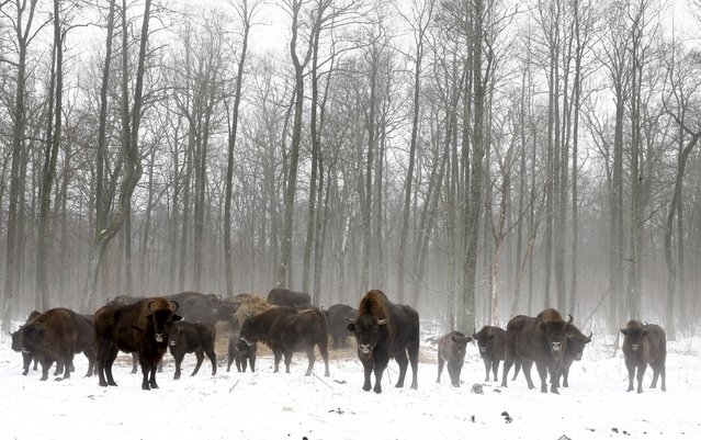 Bisons are seen at a bison nursery in the 30 km (19 miles) exclusion zone around the Chernobyl nuclear reactor near the abandoned village of Dronki, Belarus, January 28, 2016. (Photo by Vasily Fedosenko/Reuters)