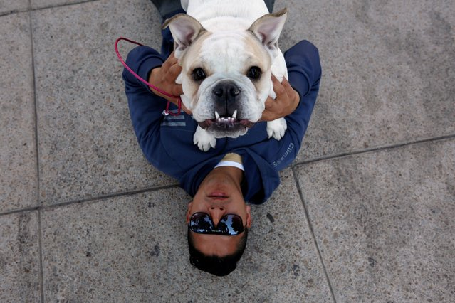An English Bulldog plays with its owner during a parade where more than 900 English Bulldog participate to set the Guinness World Records for the largest Bulldog walk in Mexico City, Mexico February 26, 2017. (Photo by Carlos Jasso/Reuters)