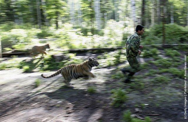 A feeder trains a Siberian tiger cub