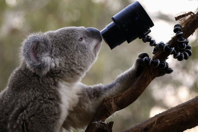 """An Australian Koala looks at a camera as it sits atop a branch in its enclosure at Wild Life Sydney Zoo April 3, 2014. Images from the camera, which are triggered by the koala's movements, are displayed on a nearby small screen which the zoo is promoting as a koala """"selfie"""". (Photo by David Gray/Reuters)"""
