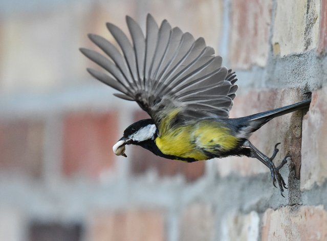 A great tit carries the excrement of its offspring out of a hole in the wall on May 8, 2014 in Petersdorf, eastern Germany. (Photo by Patrick Pleul/AFP Photo/DPA)