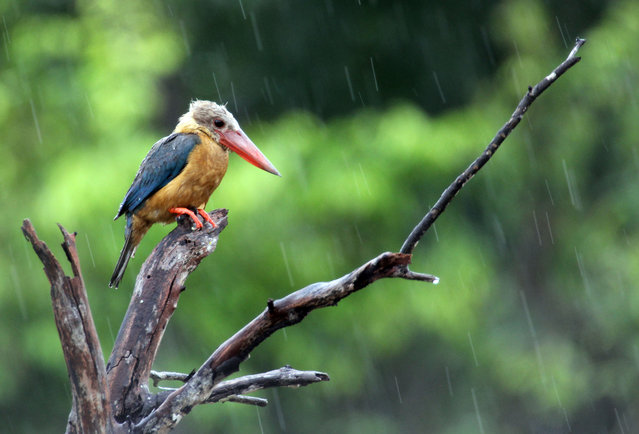 Stork-billed kingfisher during rain in Bintan, Indonesia. The tree species is sparsely distributed in the tropical Indian subcontinent and south-east Asia, from India to Indonesia. (Photo by Sijori Images/Barcroft Images)