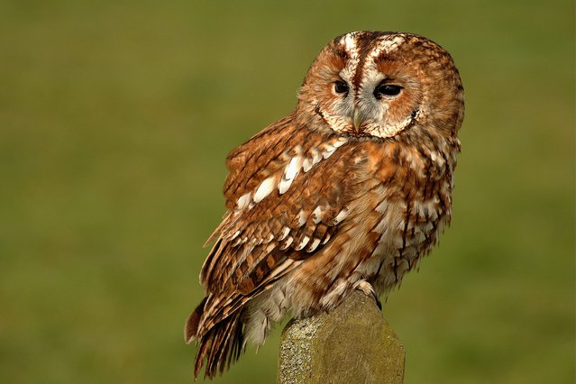 Tawny owl. (Photo by Bill Doherty/National Pictures)