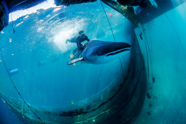 Whale sharks – illegally captured for sale to ocean theme parks in China – are released from sea pens, Ambon, Indonesia on May 29, 2016. Agents of the Ministry of Fisheries and Maritime Affairs found two whale sharks, each about 14 feet long, being held in submerged pens. Even fully grown, the sharks are harmless, slow-moving fish, typically swimming with mouths agape to filter-feed on plankton. Divers entered the pens and guided the sharks, which had been held for three months, back to freedom. (Photo by Paul Hilton for WCS)