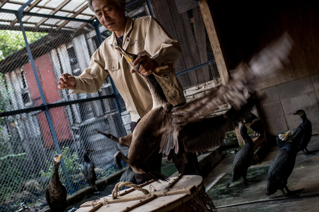 """Cormorant master, Mr. Masahiko Sugiyama chooses his cormorants for the nights """"Ukai"""" on July 2, 2014 in Gifu, Japan. In this traditional fishing art """"ukai"""", a cormorant master called """"usho"""" manages cormorants to capture ayu or sweetfish. The ushos of River Nagara have been the official staff of the Imperial Household Agency of Japan since 1890. Currently six imperial fishermen of Nagara River conduct special fishing to contribute to the Imperial family eight times a year, on top of daily fishing from mid-May to mid-October. (Photo by Chris McGrath/Getty Images)"""