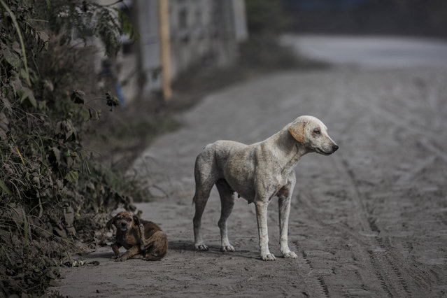 Stray dogs are seen on a road covered in volcanic ash from Taal Volcano's eruption on January 13, 2020 in Lemery, Batangas province, Philippines. (Photo by Ezra Acayan/Getty Images)